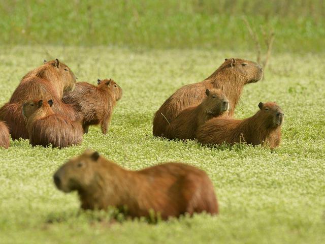 Capivara no Pantanal | Pousada Piuval -  Poconé